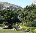 Rapanea trees and waboom in Harod Porter gardens.jpg