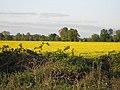 Rape field - geograph.org.uk - 1309994.jpg