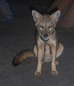 https://upload.wikimedia.org/wikipedia/commons/thumb/d/dd/Raposa-do-campo_2_cropped.jpg/250px-Raposa-do-campo_2_cropped.jpg