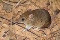 Ratinho do Cerrado.jpg