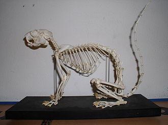 Oriental giant squirrel - Skeleton of a Ratufa species