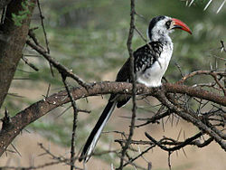 Red-billed Hornbill RWD2.jpg