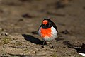 Red-capped Robin (Petroica goodenovii) (42903907360).jpg