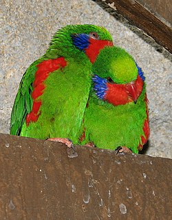 Red-flanked Lorikeet.jpg