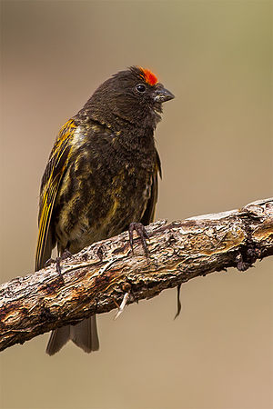 Red-fronted Serin male, Serthi village, Ladakh.jpg