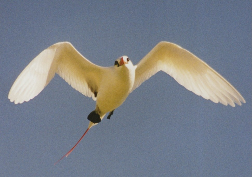 Red-tailed Tropicbird2
