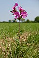 Red Campion - geograph.org.uk - 422985.jpg