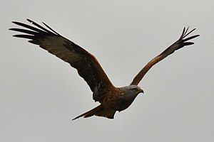 English: Red Kite Red Kites have been successf...