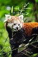 Red Panda (18877889944).jpg
