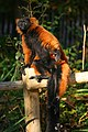 Red Ruffed Lemur.JPG