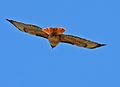 Red Tailed Hawk in Flight (5837094392).jpg