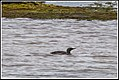 Red Throated Diver (Gavia stellata) very distant. (9512875515).jpg