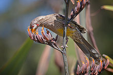 Red Wattlebird Nov09.jpg