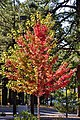 Red and green Maple Tree (3972416112).jpg