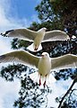 Red legged gulls.jpg