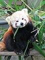 Red panda eating bambu leaf.jpg