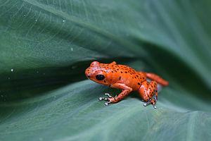 Bocas del Toro Province - Red poison dart frog, Bastimentos