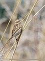Reed Bunting (Emberiza schoeniclus) (51118894825).jpg