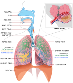 Respiratory system simple heb.png