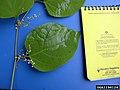 Reynoutria japonica leaf (06).jpg