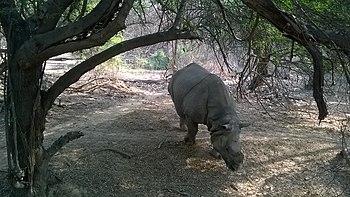 Rhinoceros 2.jpg