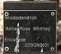Rhododendron Anna Rose Whitney B.jpg