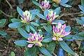 Rhododendronpark Bremen 20090513 141.JPG