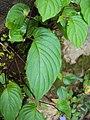 Rhynchoglossum obliquum 33.JPG