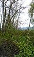 Ribes aureum 3.jpg
