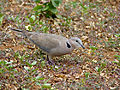 Ring-necked Dove (Streptopelia capicola) (11855738115).jpg