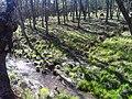 Robledal FuentedelAlmirez 2010-4-02 SierraMadrona.jpg