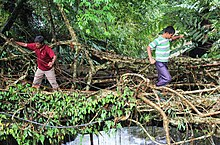 Living root bridges - Wikipedia