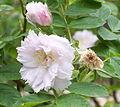 Rosa 'Fimbriata'.jpg