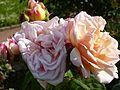 Rosa 'Mme Paule Massad' (Maslupo) in Jardin des plantes of Paris 05.jpg