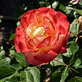 """Rosa """"Flaming Star"""" o KORtaltal. 03.jpg"""