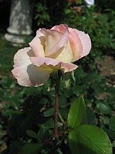 Rosa Diana Princess of Wales01.jpg