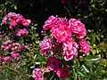 Rosa Lovely Fairy 2018-07-10 5584.jpg
