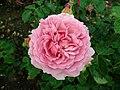Rosa Princess Alexandra of Kent 2019-06-07 1317.jpg