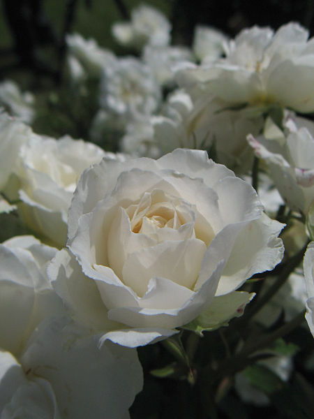 File:Rosa Princess of Wales01.jpg