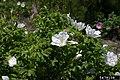 Rosa rugosa inflorescence (34).jpg