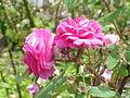 Rosa sp.14.jpg