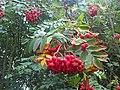 Rosales - Sorbus aucuparia - 5.jpg