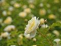 Rose, The Pilgrim, バラ, ザ ピルグリム, (15635528660).jpg