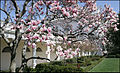 Rose Garden magnolia in the White House.jpg
