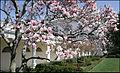 Rose Garden magnolia in the White House.jpg