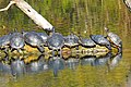 Rotwangen Schmuckschildkröten.jpg