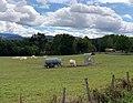 Route de Brens (Belley), pré et vaches.jpg