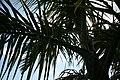 Roystonea regia var. maisiana 18zz.jpg