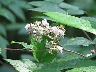 Rubus cockburnianus - Image: Rubus cockburnianus
