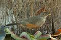 Rufous-bellied Thrush - Pantanal - Brazil MG 9516 (16612482564).jpg